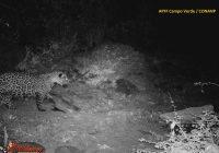Capturan en junio a Jaguar en zona de Madera