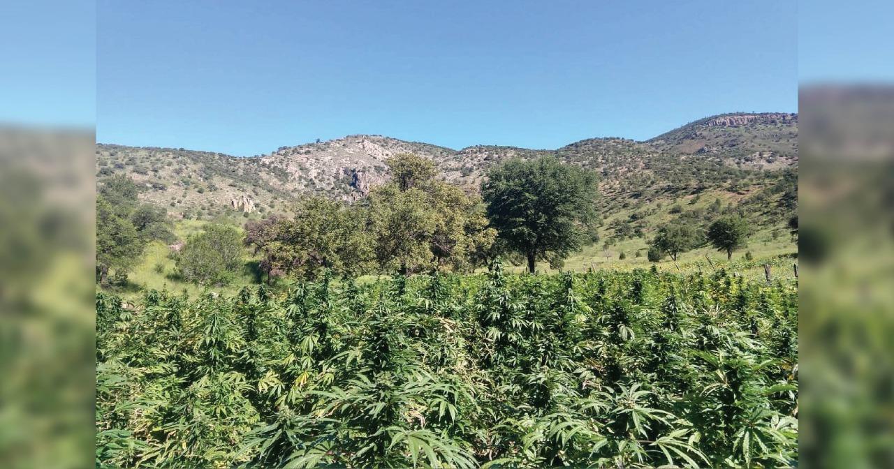 Localizan y destruyen cinco plantíos de marihuana en Nonoava