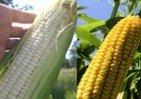 Cosechan en Sinaloa maíz blanco con transición agroecológica y sin glifosato